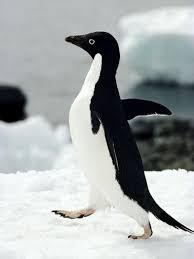 Penguin Meme - socially awkward penguin know your meme