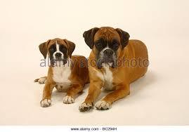 3 month boxer dog german boxer puppies stock photos u0026 german boxer puppies stock