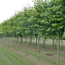 tilia pleached or standard lime trees ornamental trees ltd