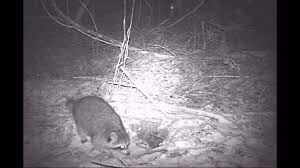 bushnell trail cam animals at night youtube