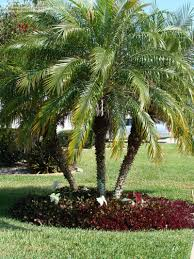 Tree For Home Decoration Outdoor U0026 Garden Pretty Robellini Palm Tree For Home Landscape Ideas