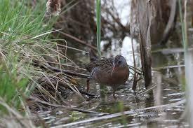 virginia rail birding pictures