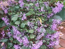Australian Garden Flowers by My Dry Tropics Garden Plectranthus U0027mona Lavender U0027