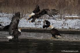 Washington wildlife tours images Bald eagle photography tour washington state photojeepers jpg