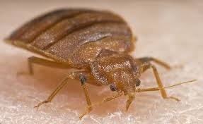 How To Identify Bed Bugs Bed Bugs Cimex Lectularius Cimicidae