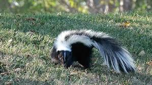 lifeform of the week skunks earth earthsky