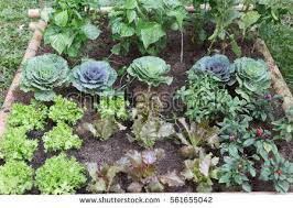 growing vegetables stock images royalty free images u0026 vectors