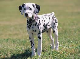 dalmatian pictures information training grooming puppies