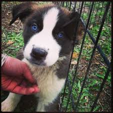 australian shepherd and beagle mix pitsky animalso australian shepherd white photo happy dog heaven