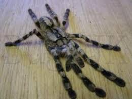 spiders bugzuk