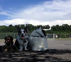 australian shepherd quad cities pet adventure blog cascadian nomads