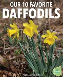 family home and garden top 10 daffodils for your yard and garden national garden bureau