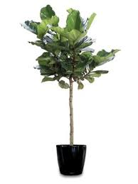 Fiddle Leaf Fig Tree Care by Me U0026 My Fiddle Leaf Fig Tree The Estate Of Things