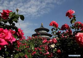 china with roses roses in blossom in beijing xinhua news cn