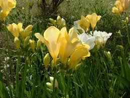 freesia flower freesia