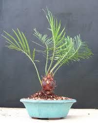 bonsai beginnings starting bonsai trees from seeds