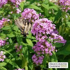phlox flower jeana garden phlox phlox paniculata jeana high country gardens