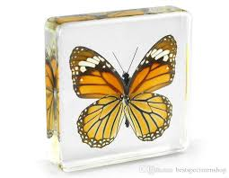 acrylic resin embedded butterfly specimen paperweight