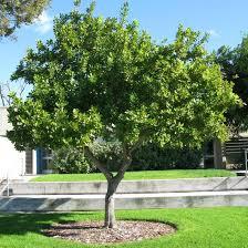 Backyard Trees For Shade - 11 best macadamia tree images on pinterest fruit trees garden
