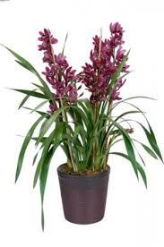 orchid plants cymbidium orchid plant plant in chattanooga tn chantilly lace