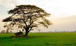 big tree in rice field photograph by kobchai sukruean