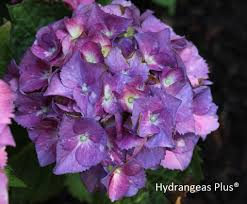purple hydrangea macrophylla merritt s supreme