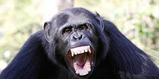 bbc earth chimpanzees and monkeys have entered the stone age