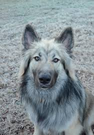 belgian sheepdog health problems native american indian dog with a dash of belgian sheepdog native