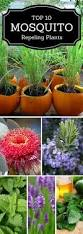 best 25 plants that repel mosquitoes ideas on pinterest insect