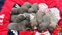 american pitbull terrier for sale ohio american pit bull puppies for sale in ohio