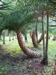 sylvester palm tree sale sylvester palm sylvestris sylvester date palm south