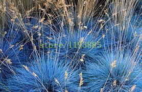 aliexpress buy 100 pcs grass seeds purple fescue fesnea