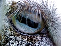 Goat Eye Anatomy Eye Of A Goat Called Poppy Goats And Most Other Animals With