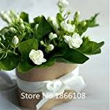 Indoor Fragrant Plants - amazon com 20seeds bag jasmine seed indoor plants perennial