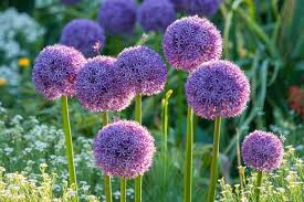 allium flowers allium globemaster ornamental