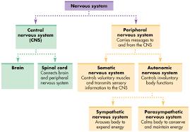Nervous System Human Anatomy Central Nervous System Chart Human Anatomy Chart