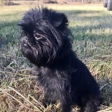 affenpinscher animal planet meet 5 of our favorite black coated dog breeds