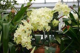 orchid plants indoor orchid care how do i take care of an orchid flower