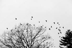 crows on the tree stock photo fotoperry email cz 98292116