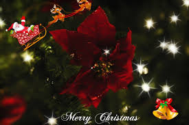 flowers red merry flowers greetings christmas poinsettia desktop