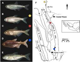 Mexican Blind Cave Fish Evolutionary Convergence On Sleep Loss In Cavefish Populations