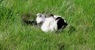 Cats In Small Spaces Video - cat relaxing on the lawn grass in the garden springtime