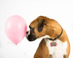 3d boxer dog t shirt boxer dog and pink balloon stock images image 32037654