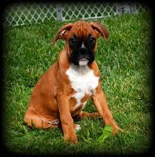 boxer dog european taping of natural ears