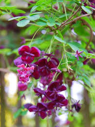 Climbing Plants For North Facing Walls - bluebell nursery bluebell nursery all items u0027climbers north