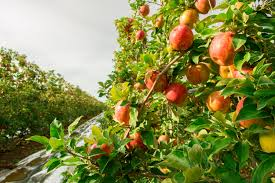 a bushel and a peck from the of washington apple country