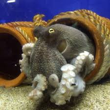 pain in cephalopods wikipedia