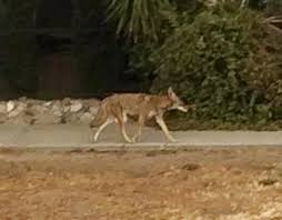 Coyote In My Backyard Los Angeles Braces For Possible Coyote Wars In Response To Bid To