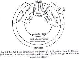 Mitosis And The Cell Cycle Worksheet Notes On The Cycle Of Cell With Diagram