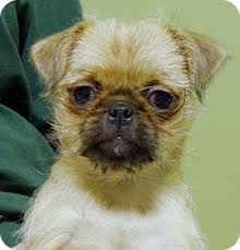 affenpinscher terrier mix i found chevy on labrador retriever and labradors